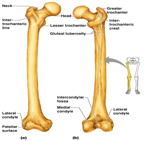 By Photo Congress    Skeletal Bones Quiz